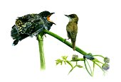Cuckoo and Warbler